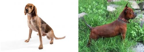 English Coonhound vs Chinese Chongqing Dog