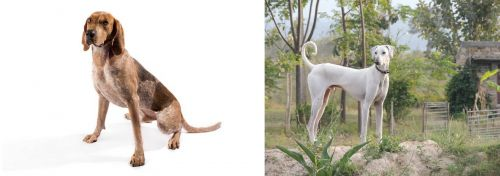English Coonhound vs Chippiparai