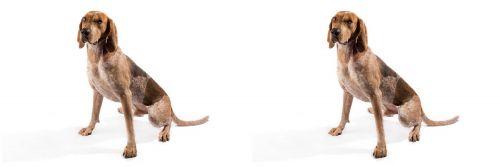 English Coonhound vs Coonhound