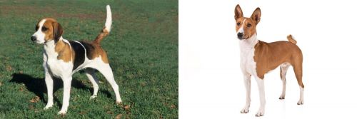 English Foxhound vs Basenji