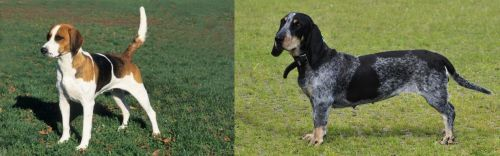 English Foxhound vs Basset Bleu de Gascogne