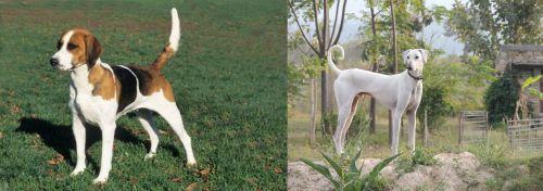English Foxhound vs Chippiparai