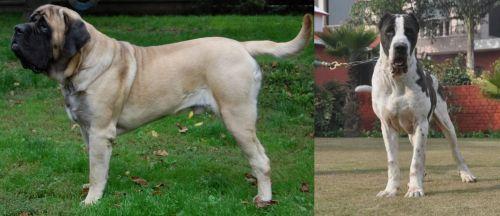 English Mastiff vs Alangu Mastiff