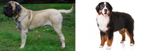 English Mastiff vs Bernese Mountain Dog