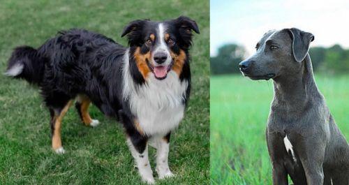 English Shepherd vs Blue Lacy