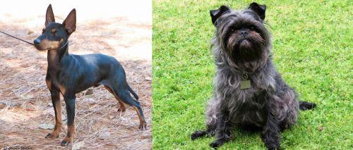 English Toy Terrier (Black & Tan) vs Affenpinscher