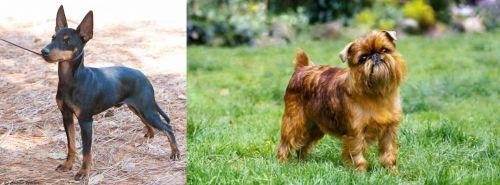 English Toy Terrier (Black & Tan) vs Brussels Griffon