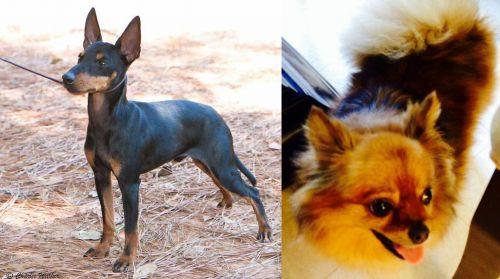 English Toy Terrier (Black & Tan) vs Chiapom