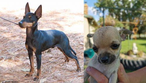 English Toy Terrier (Black & Tan) vs Chihuahua