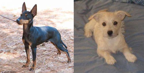 English Toy Terrier (Black & Tan) vs Chipoo