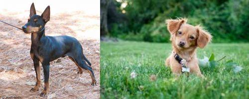 English Toy Terrier (Black & Tan) vs Chiweenie