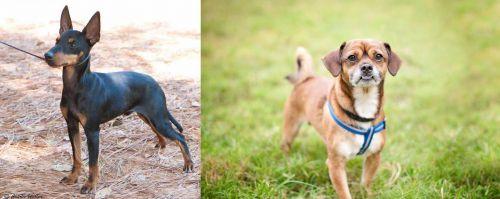 English Toy Terrier (Black & Tan) vs Chug