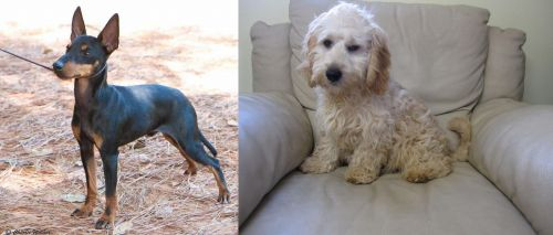 English Toy Terrier (Black & Tan) vs Cockachon