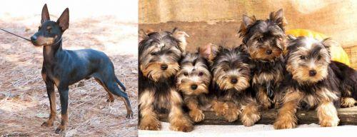 English Toy Terrier (Black & Tan) vs Yorkshire Terrier