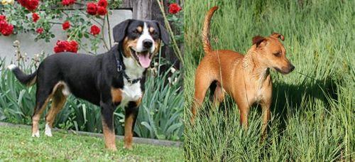 Entlebucher Mountain Dog vs Africanis