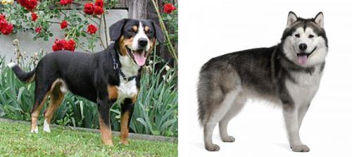 Entlebucher Mountain Dog vs Alaskan Malamute