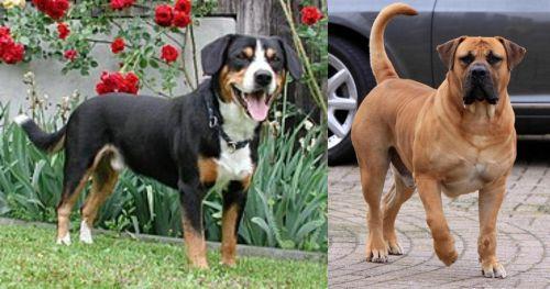 Entlebucher Mountain Dog vs Boerboel