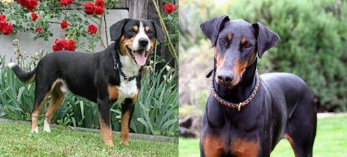 Entlebucher Mountain Dog vs Doberman Pinscher