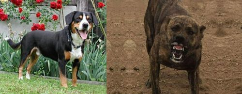 Entlebucher Mountain Dog vs Dogo Sardesco