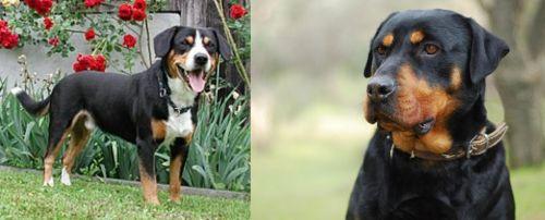 Entlebucher Mountain Dog vs Rottweiler