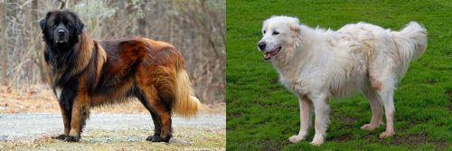 Estrela Mountain Dog vs Abruzzenhund