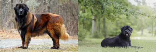 Estrela Mountain Dog vs Bouvier des Flandres