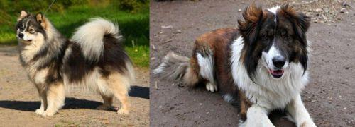 Finnish Lapphund vs Aidi