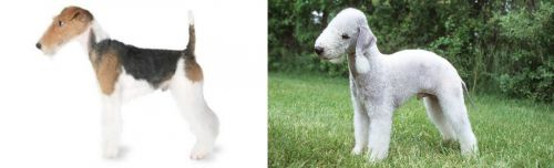 Fox Terrier vs Bedlington Terrier