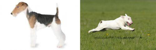 Fox Terrier vs Bull Terrier