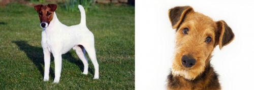 Fox Terrier (Smooth) vs Airedale Terrier