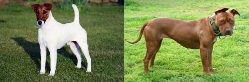 Fox Terrier (Smooth) vs American Pit Bull Terrier