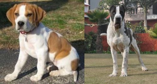 Francais Blanc et Orange vs Alangu Mastiff