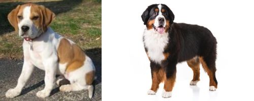 Francais Blanc et Orange vs Bernese Mountain Dog