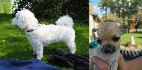 Franzuskaya Bolonka vs Chihuahua