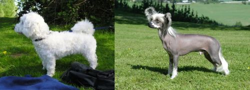 Franzuskaya Bolonka vs Chinese Crested Dog
