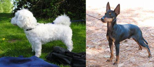 Franzuskaya Bolonka vs English Toy Terrier (Black & Tan)