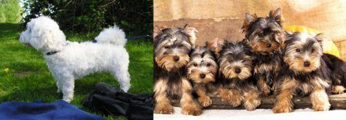Franzuskaya Bolonka vs Yorkshire Terrier
