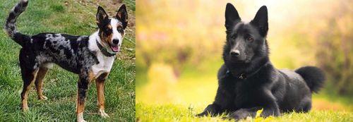 German Coolie vs Black Norwegian Elkhound