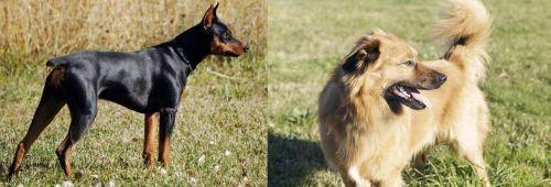 German Pinscher vs Basque Shepherd