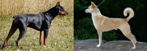 German Pinscher vs Canaan Dog