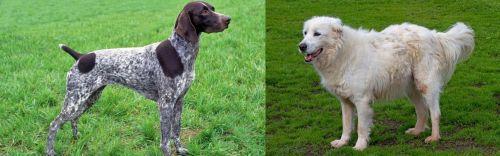 German Shorthaired Pointer vs Abruzzenhund