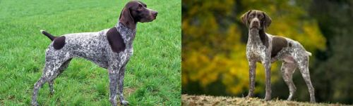 German Shorthaired Pointer vs Braque Francais (Gascogne Type)