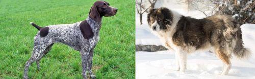 German Shorthaired Pointer vs Caucasian Shepherd