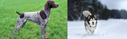 German Shorthaired Pointer vs Siberian Husky