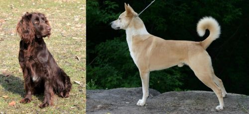 German Spaniel vs Canaan Dog