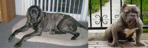 Giant Maso Mastiff vs American Bully