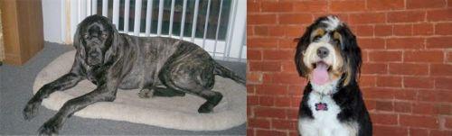 Giant Maso Mastiff vs Bernedoodle