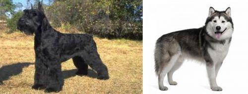 Giant Schnauzer vs Alaskan Malamute