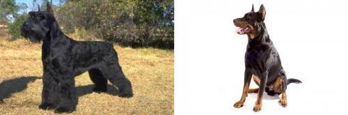 Giant Schnauzer vs Beauceron
