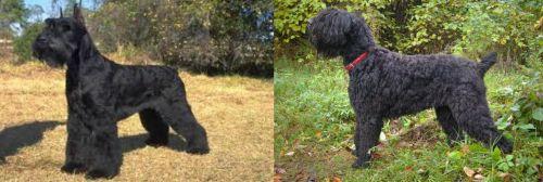 Giant Schnauzer vs Black Russian Terrier
